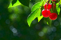 Sour Cherries (1)