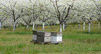 Bees hives in cherry orchard
